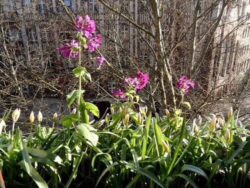 Einjähriges Silberblatt (Lunaria annua) und Tulpen im Blumenkasten